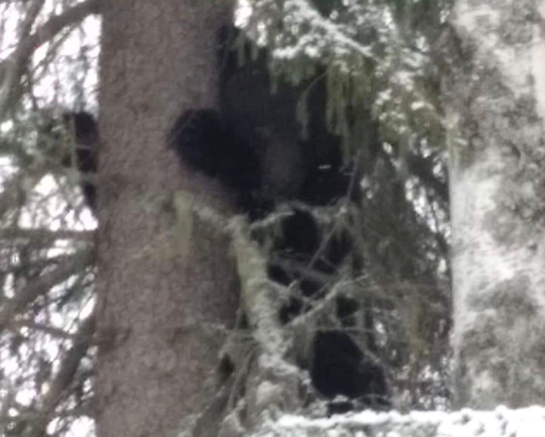Медведи в Кировской области начали просыпаться после зимней спячки