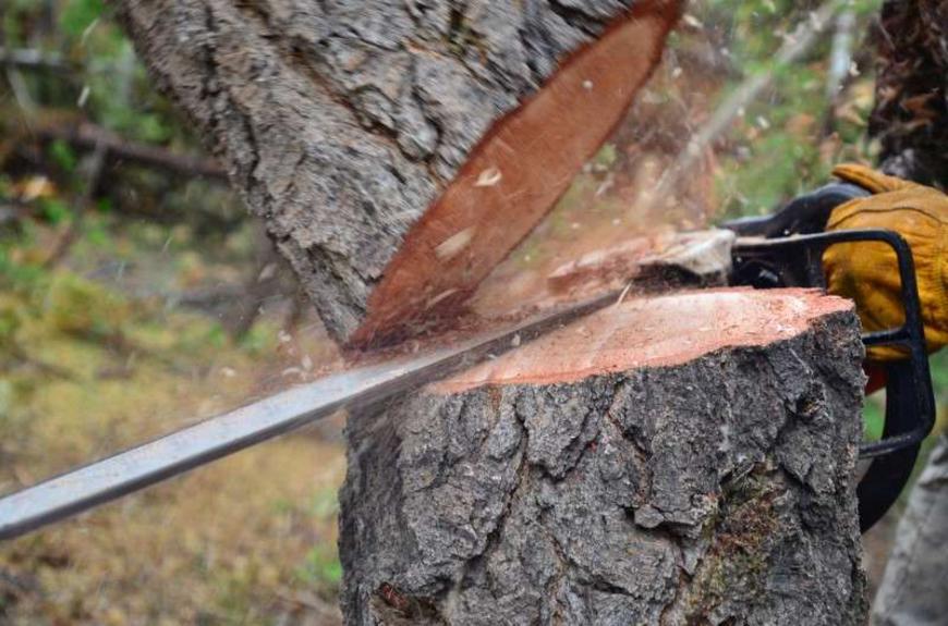 Дровосек из Фалёнок обвиняется в незаконной рубке леса