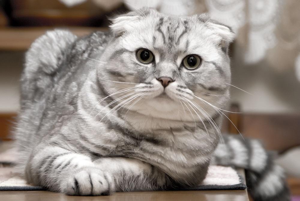 Кировчанин продает волшебную кошку за 1,5 миллиона рублей