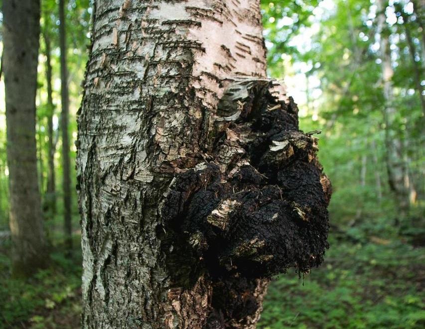 Кировские грибы пользуются большим спросом за рубежом. За 2020 год более 668 тонн чаги были отправлены на экспорт