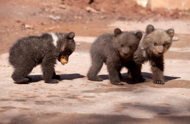В Кировской области лесники нашли в берлоге трёх медвежат-сосунков