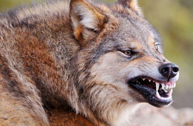 В Кировской области продолжаются мероприятия по снижению численности волка