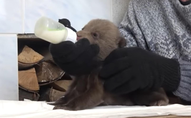 Мишки покидают малую Родину: волонтеры опубликовали видео с тремя спасенными косолапыми