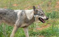 В семи районах Кировской области выявлено бешенство животных