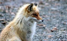 В Вятских Полянах хотят ввести карантин. Бешеная лиса напала на собаку и девочку