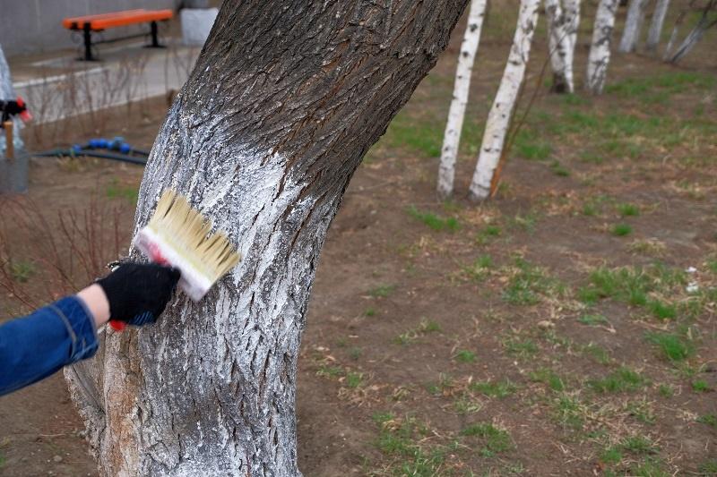 В Кирове больше не будут белить деревья