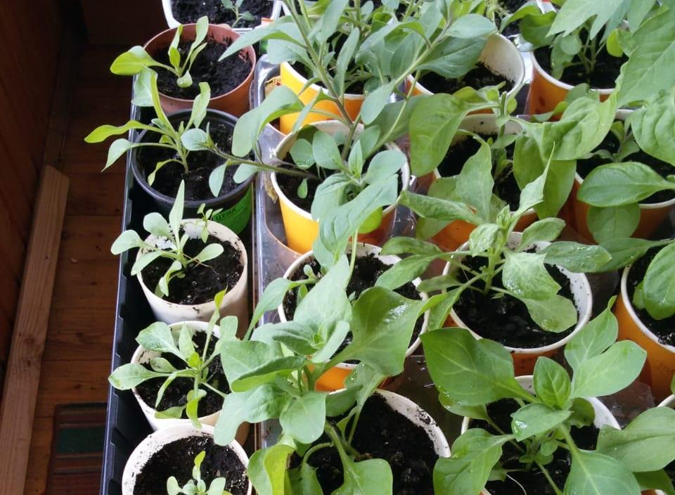 Юные садоводы Кирова высадили на клумбы в детских садах первые цветы