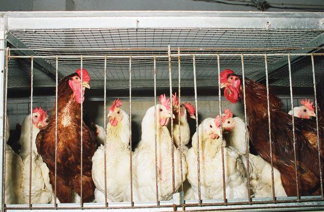 Россельхознадзор выявил в Кирове потенциальный источник птичьего гриппа