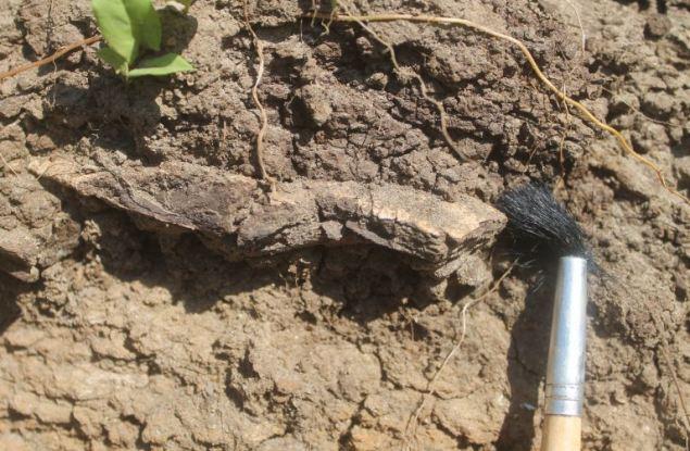 В Кировской области нашли части скелета древнего морского ящера