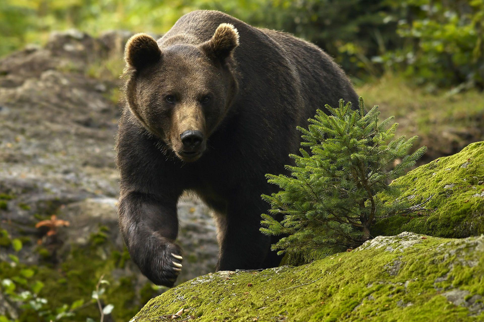 Жители села в Богородском районе Кировской области боятся ходить на работу из-за медведя