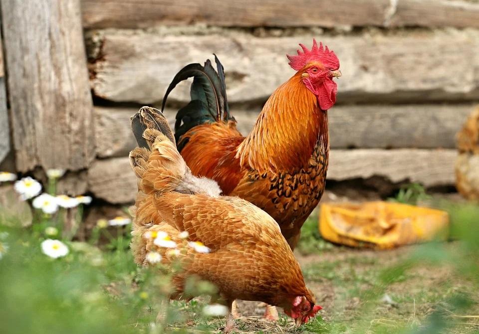За разведение кур на садовом участке можно получить крупный штраф
