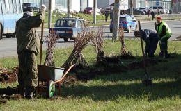 Живая изгородь вместо железных заборов в Кирове