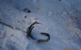 Нападения волков в Кировской области оказались жестокой ложью