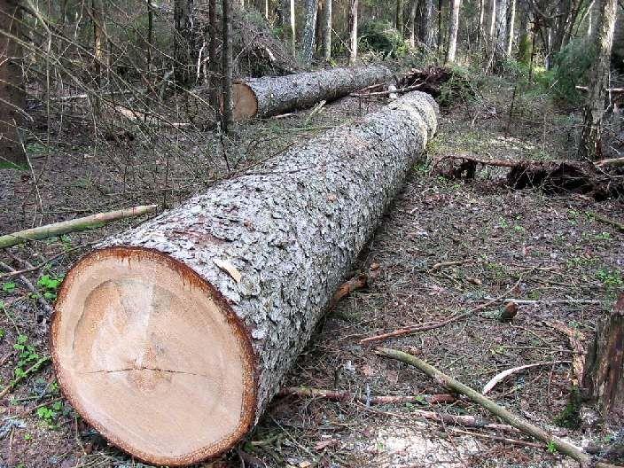 По материалам ФСБ возбуждено дело на «черных» лесорубов