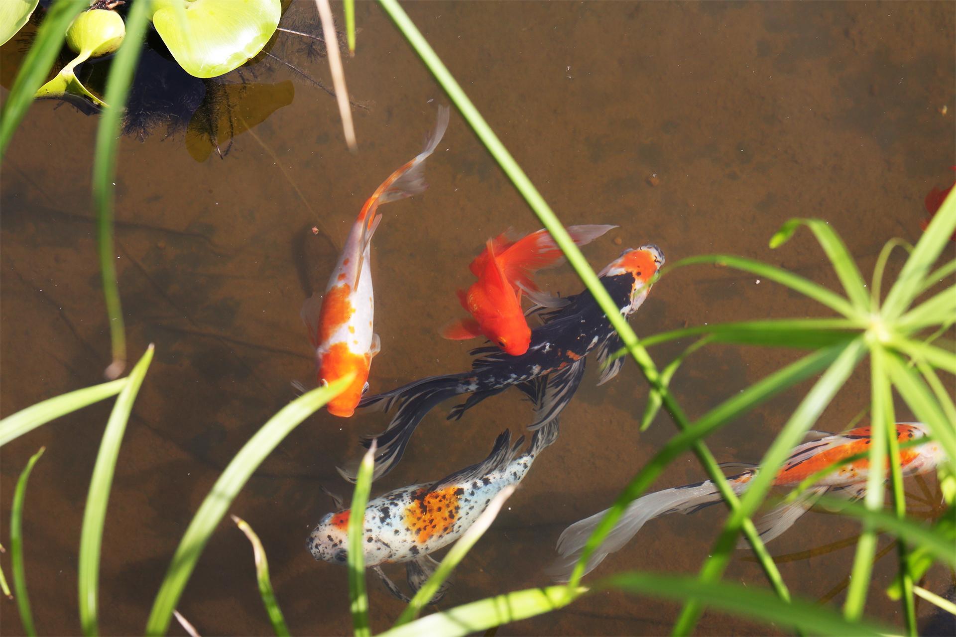 В Ботаническом саду Кирова появились золотые рыбки
