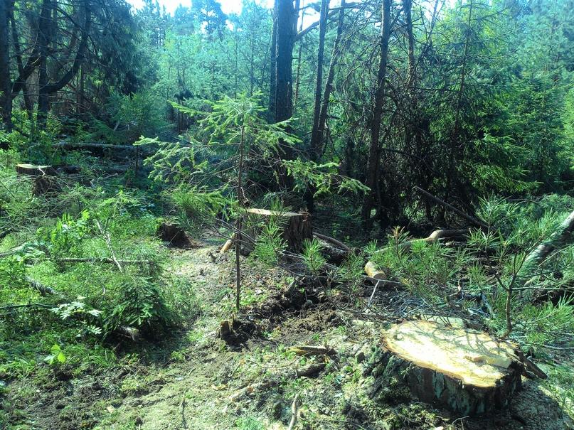 Стоны великорецких сосен, или Почему вырубили реликтовый лес?