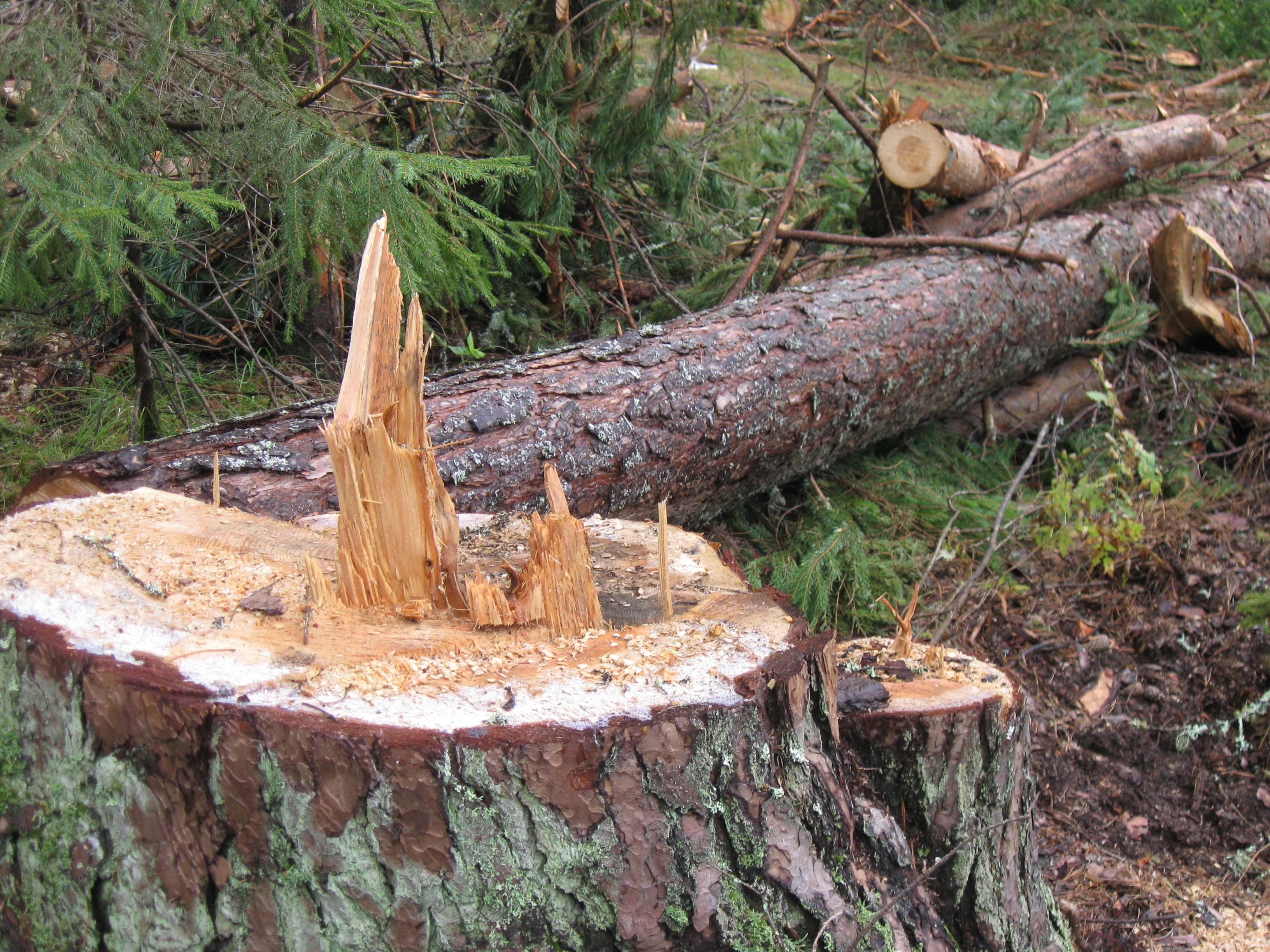 Ради каких целей вырубили реликтовый лес?
