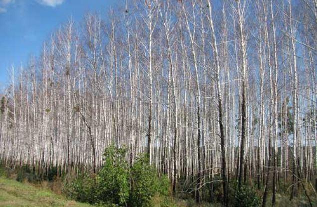 Дорожники загубили лесной участок в пригороде Кирова