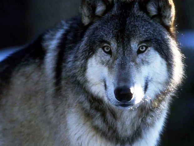 Несмотря на рост добычи волка, популяция представляет угрозу жителям региона