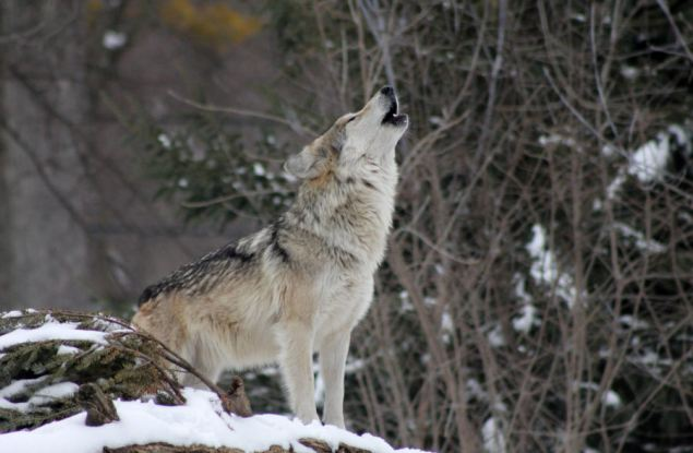 За первые месяцы года в Кировской области добыт 171 волк