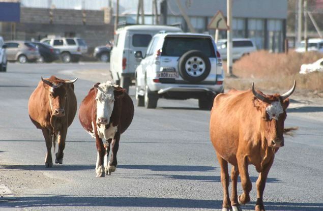 Кировские коровы - на втором месте в России по среднесуточным надоям