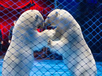 Шоу белых медведей на арене кировского цирка!
