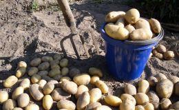 Картофель в Кировской области потерял почти половину стоимости