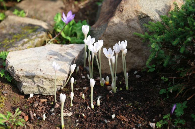 Безвременник осенний. Удивительный цветок распустился в Ботаническом саду